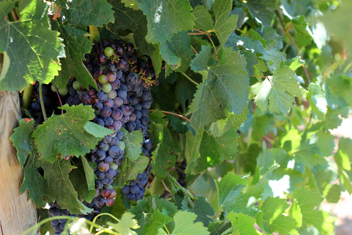Harvest in Emporda: best wines DO
